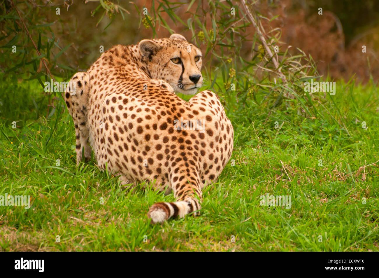 san diego zoo safari park cheetah stock photos san diego zoo
