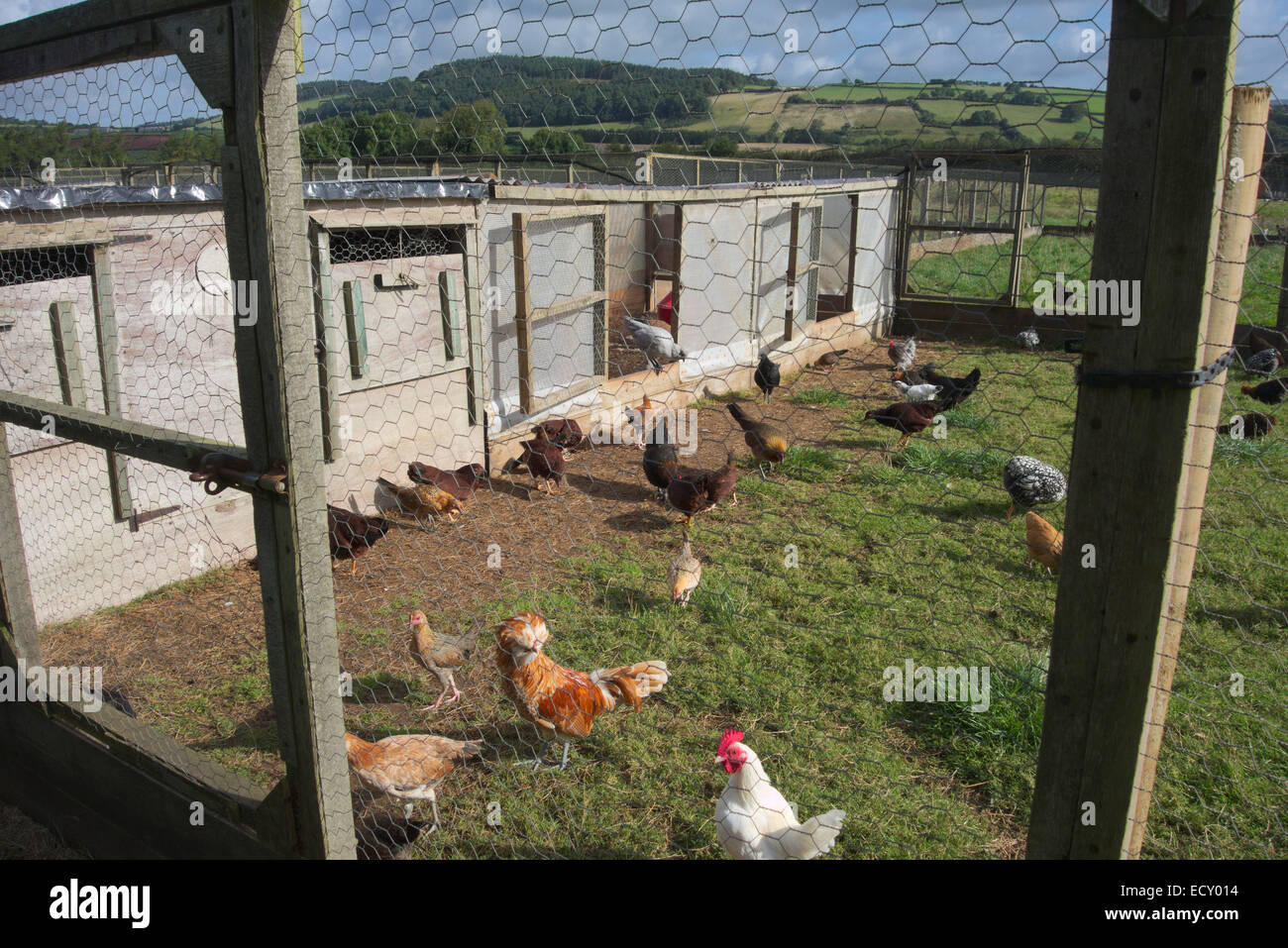 Small poultry breeding unit with outside pens - Brendon Hills Somerset - Stock Image