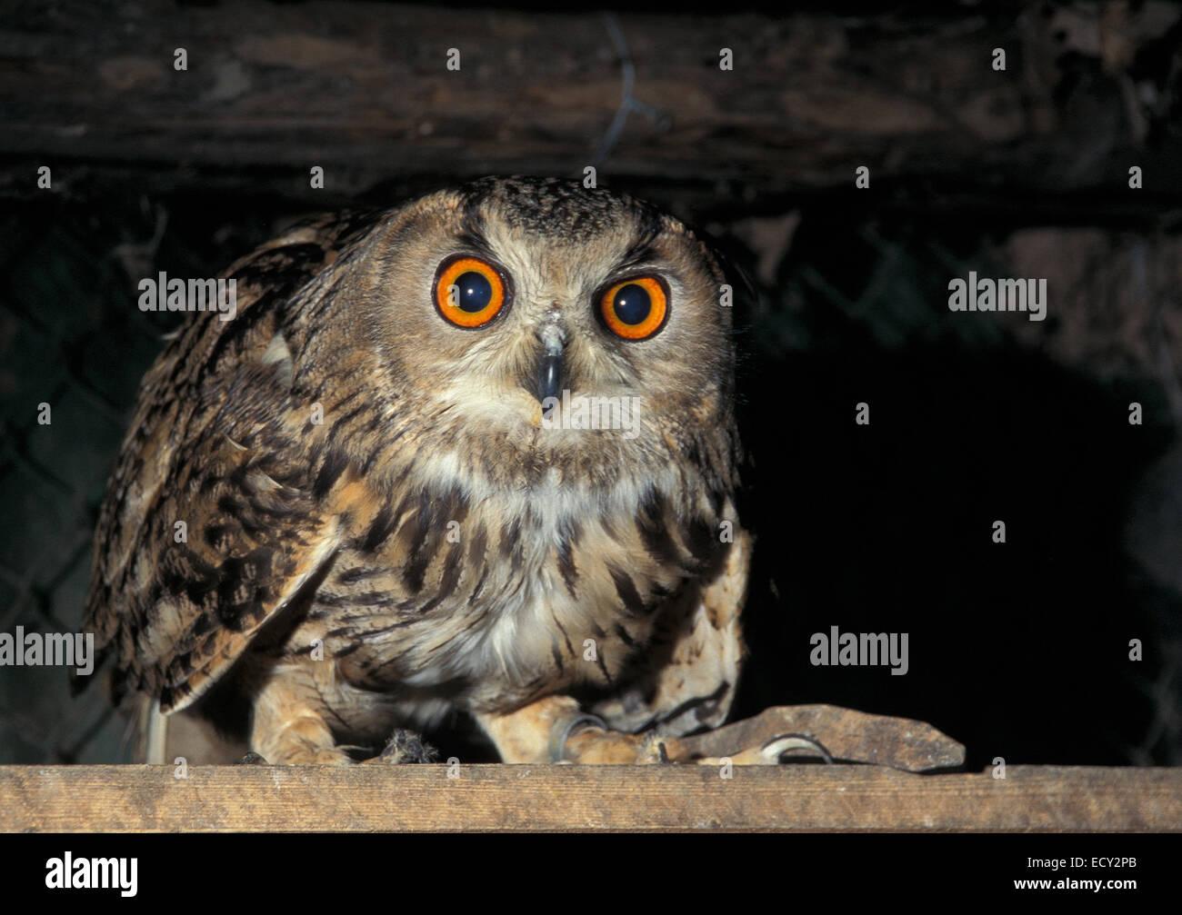 Indian eagle-owl, Bubo bengalensis, Strigidae - Stock Image