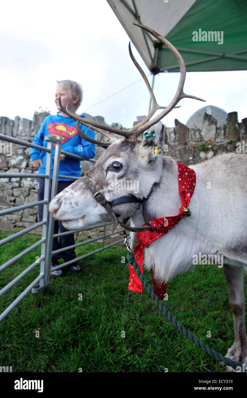 Reindeer at Christmas show st dogmaels pembrokeshire wales Stock Photo
