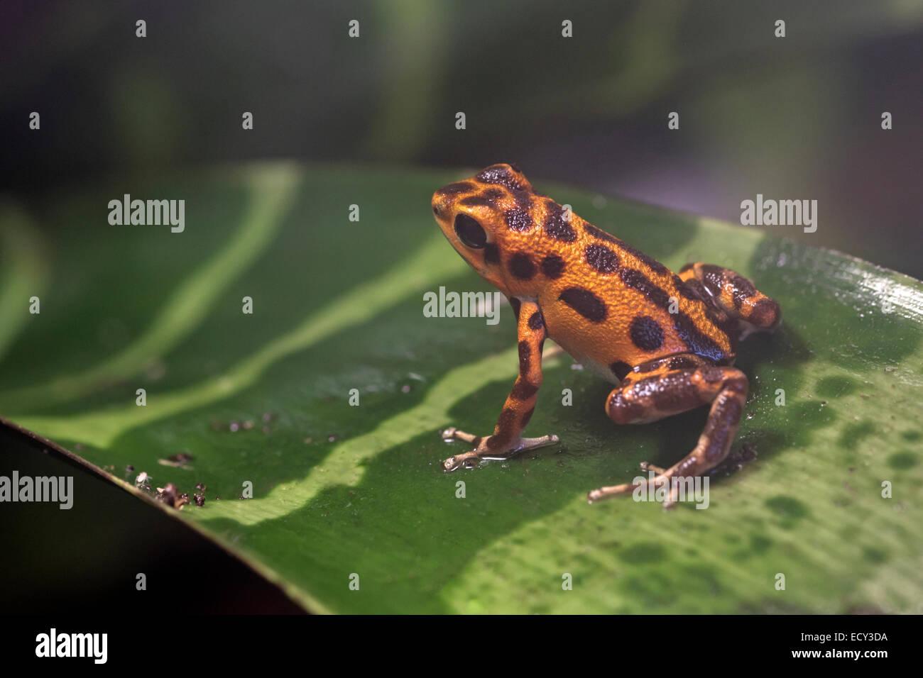 Poison dart frog (Oophaga pumilio) - Stock Image