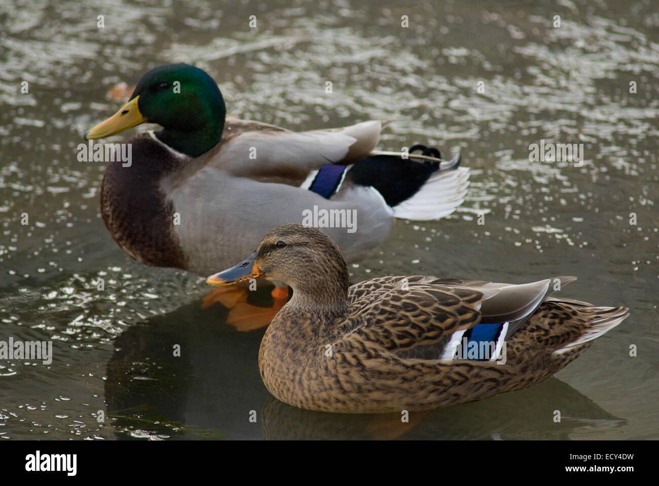 Male and female of mallard or wild duck, Anas platyrhynchos, Anatidae, Paterno Lake, Rieti, Lazio, Italy - Stock Image