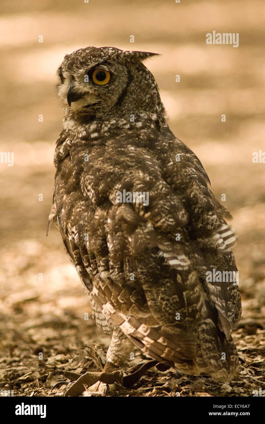 Spotted eagle-owl (Bubo africanus), Strigidae - Stock Image