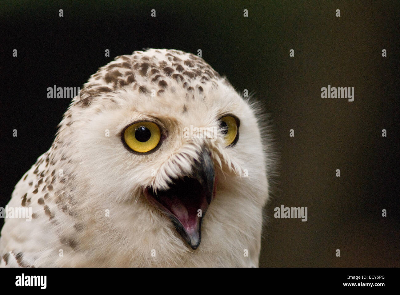 Snowy Owl, Bubo scandiacus, Strigidae - Stock Image