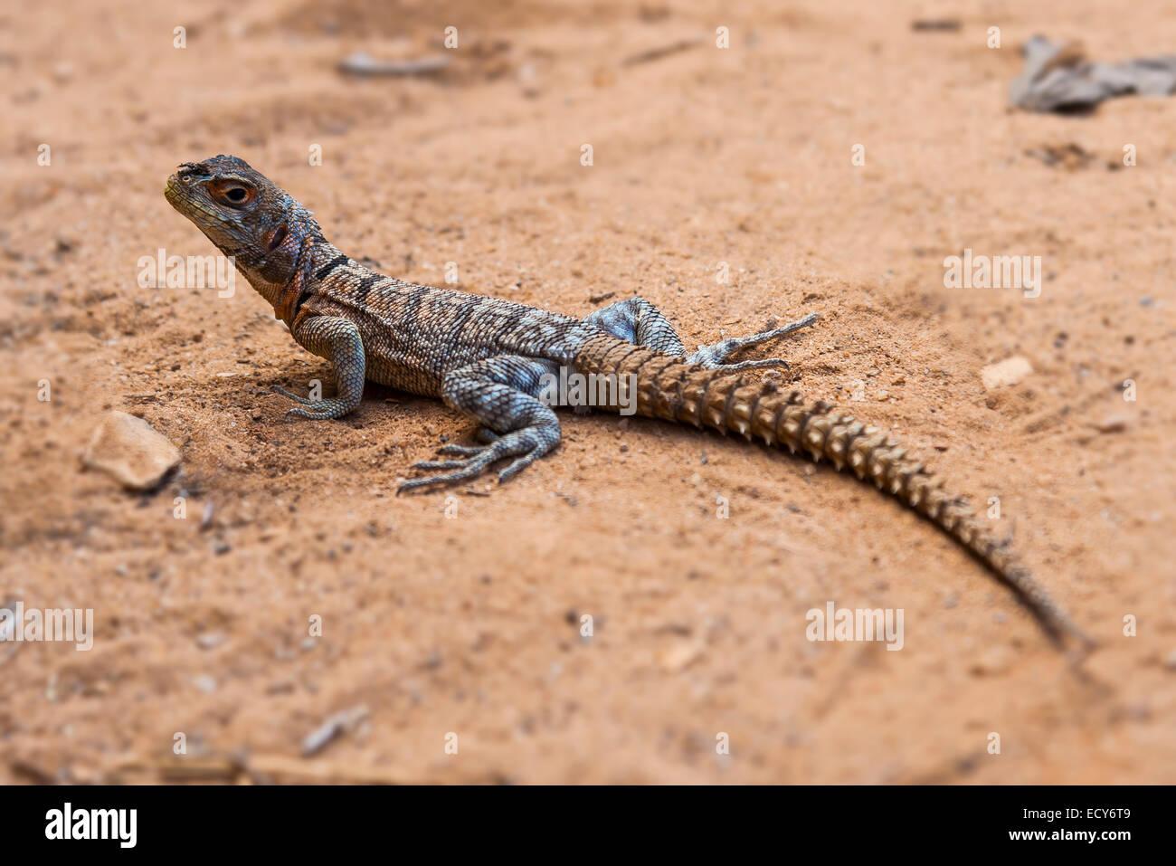 Iguanid Lizard, Collared Iguana, or Madagascan Collared Iguana (Opulurus cuvieri), Kirindy, Madagascar - Stock Image