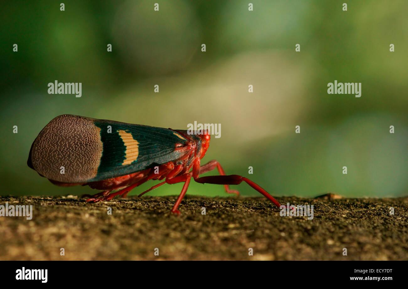 Lantern Bug (Scamandra tethis), Tangkoko Batuangus Nature Reserve, Sulawesi, Indonesia - Stock Image