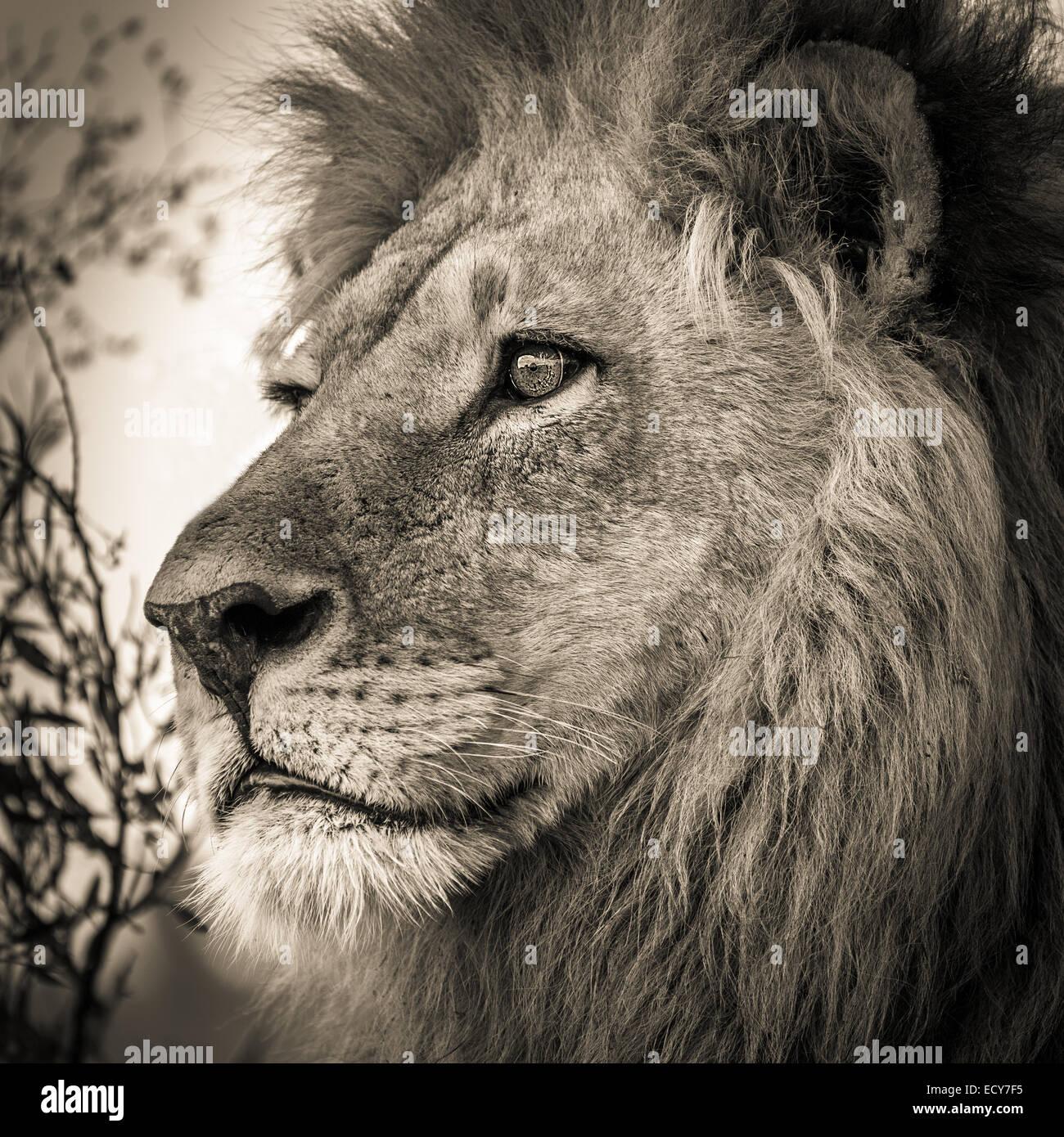 Male lion (Panthera leo), Okavango Delta, Botswana - Stock Image