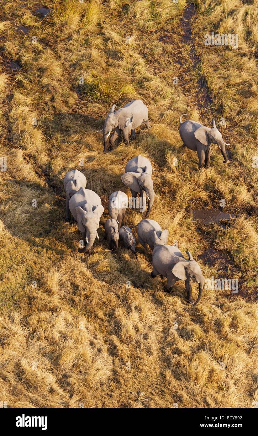 African Elephants (Loxodonta africana), breeding herd, roaming in a freshwater marsh, aerial view, Okavango Delta, - Stock Image
