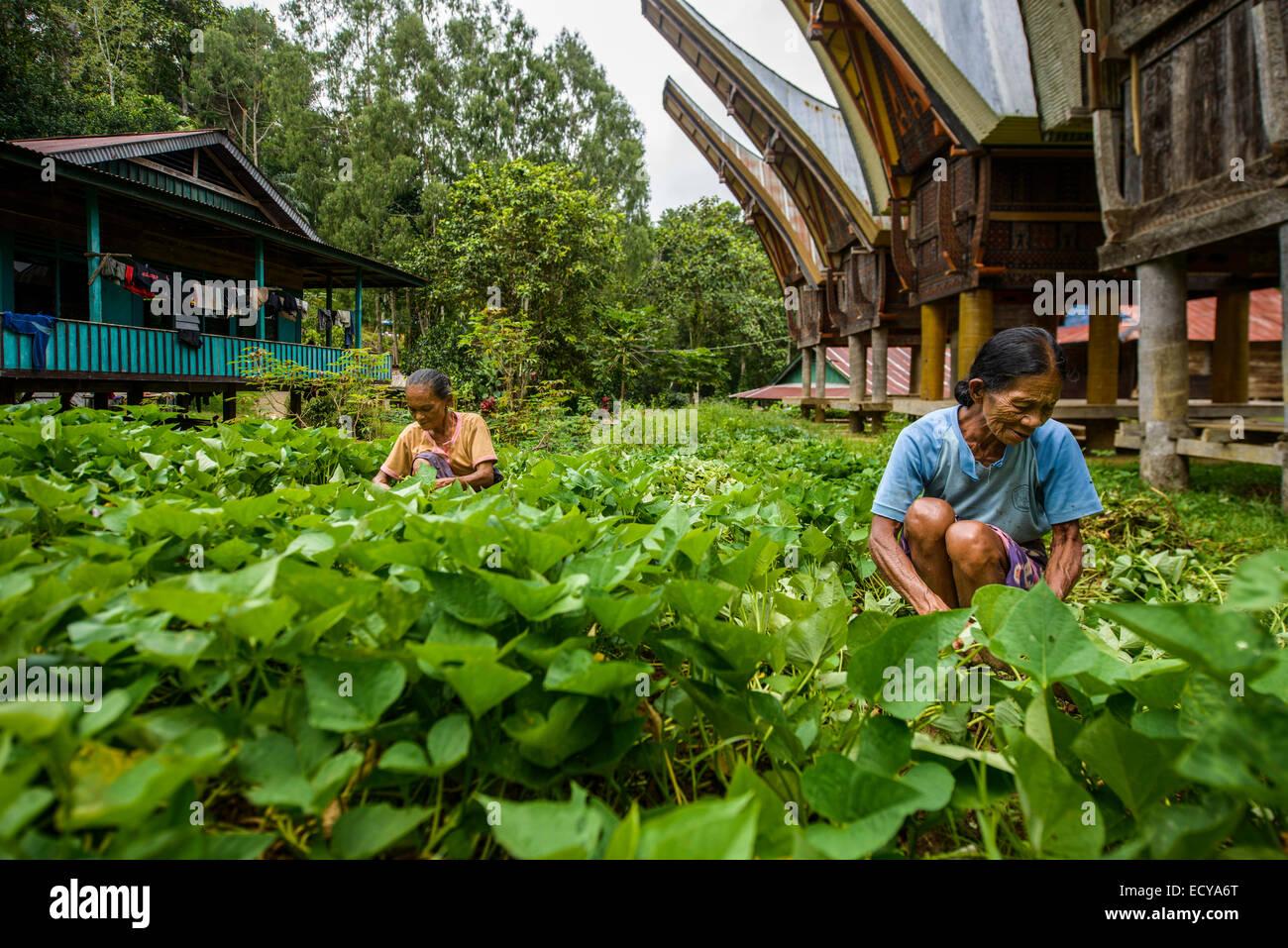 Toraja women working in the fields, Sulawesi, Indonesia - Stock Image