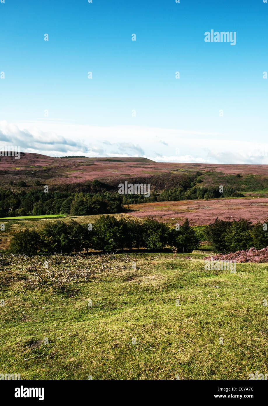 landscape of Yorkshire england color of pink heathers Stock Photo