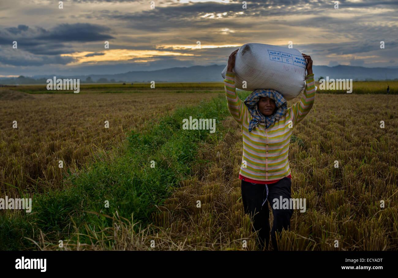 Rice collectors, Sumatra, Indonesia - Stock Image