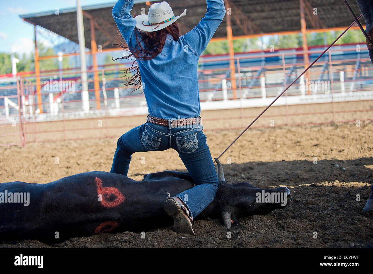 Caucasian cowgirl tying cattle in rodeo on ranch Stock Photo