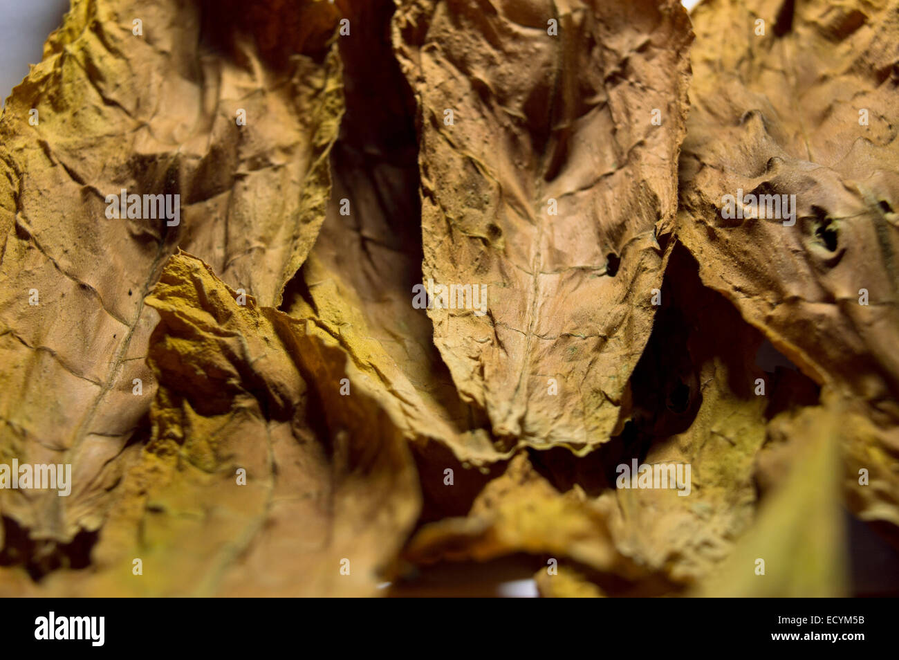 Oriental tobacco leaves - Stock Image