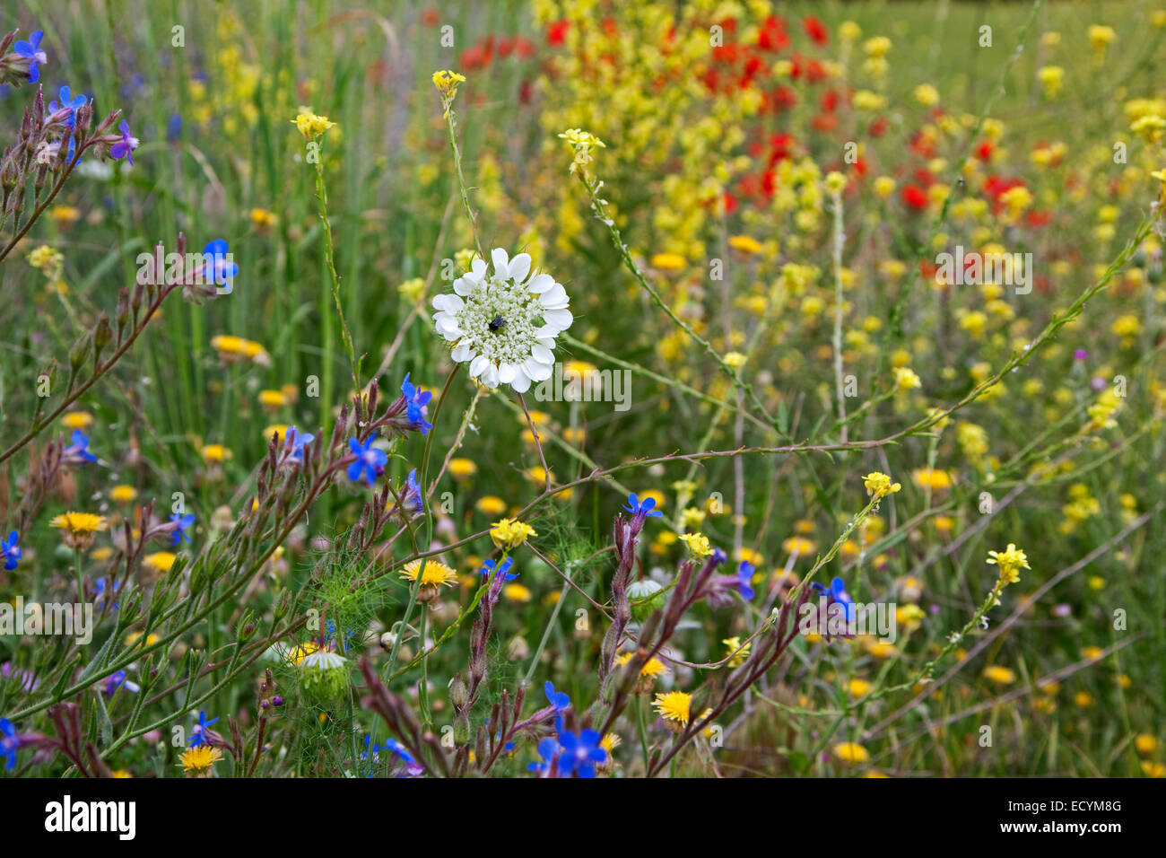 Colourful wildflowers flowering in meadow in spring, Turkey - Stock Image