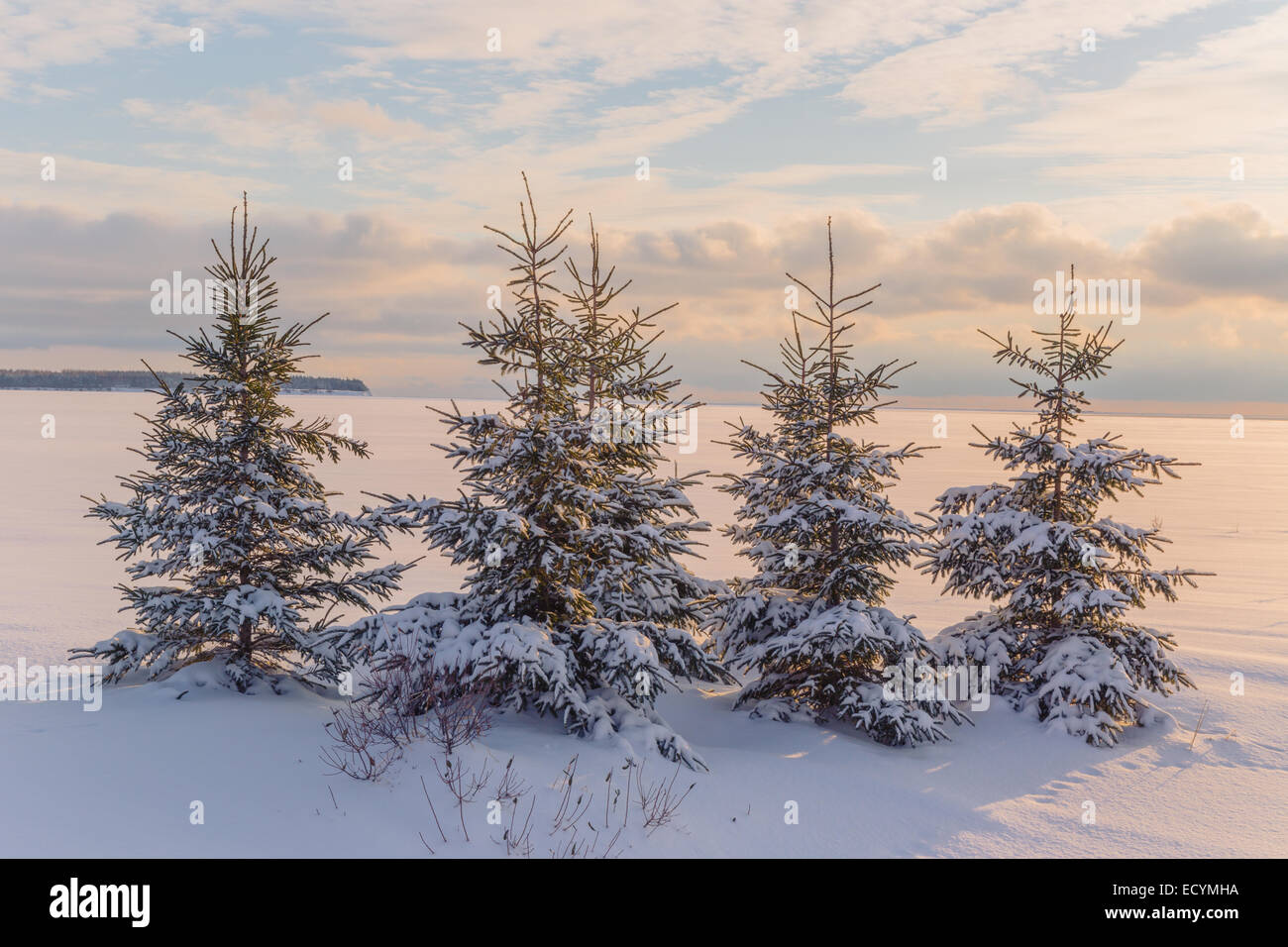 Picea glauca or white spruce trees along the frozen waterfront in rural Prince Edward Island, Canada. - Stock Image