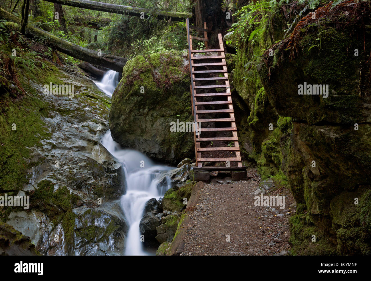 CA02573-00...CALIFORNIA - The Ladder on Steep Ravine Trail as it parallels Webb Creek in Mount Tamalpais State Park. - Stock Image