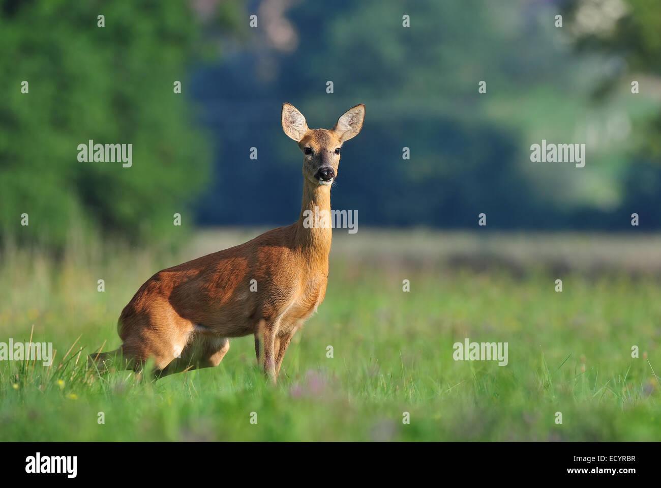 Roe deer - Stock Image