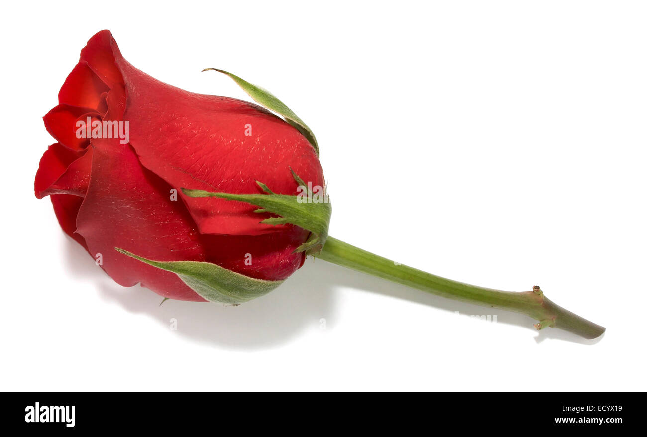 rose lapel Stock Photo