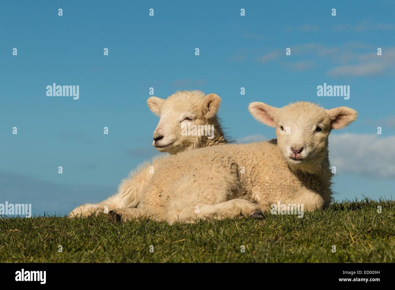 two basking lambs - Stock Image