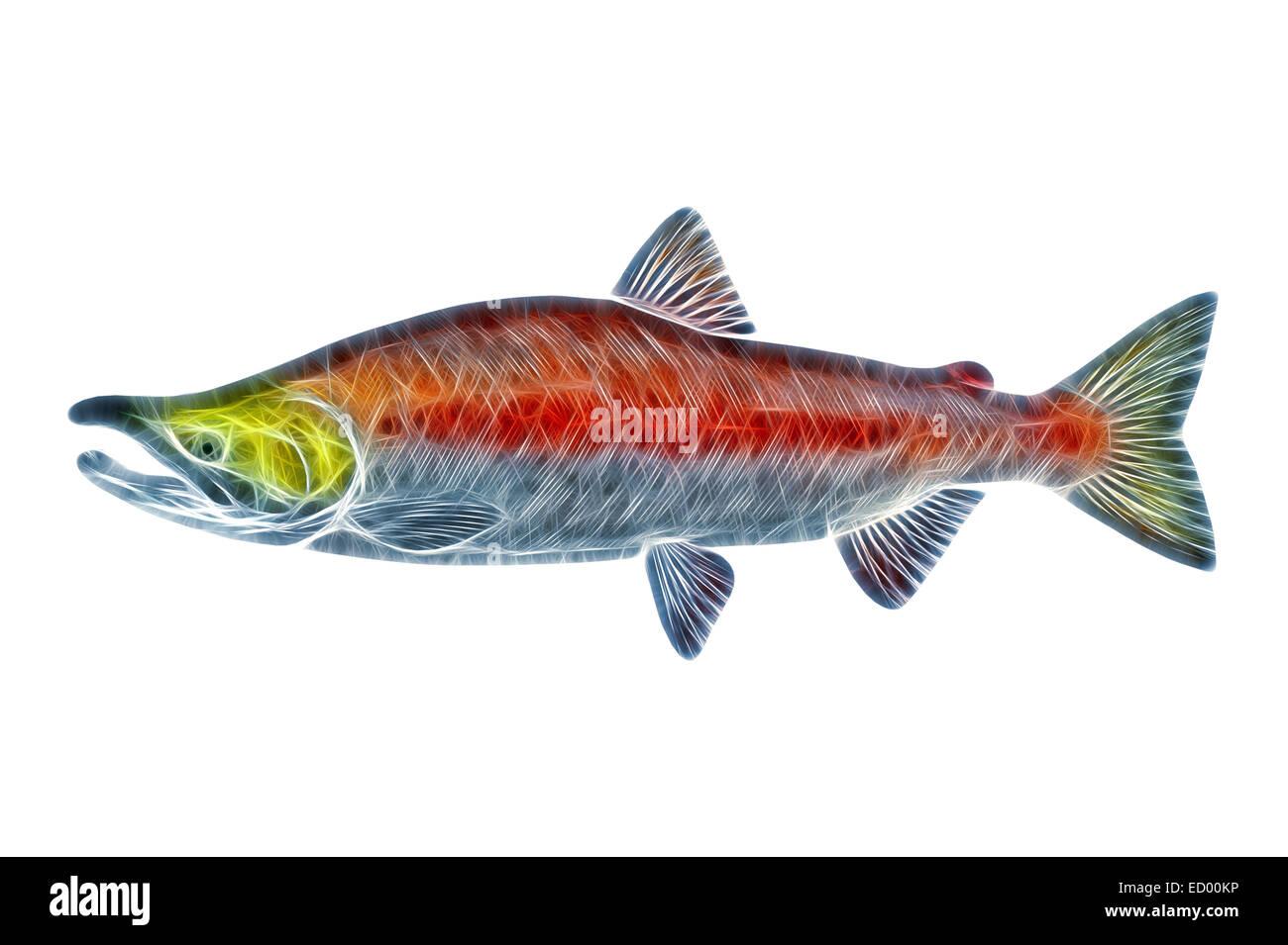 Male Sockeye Salmon (Oncorhynchus nerka) stylized illustration. Pacific salmon adult spawning male. - Stock Image