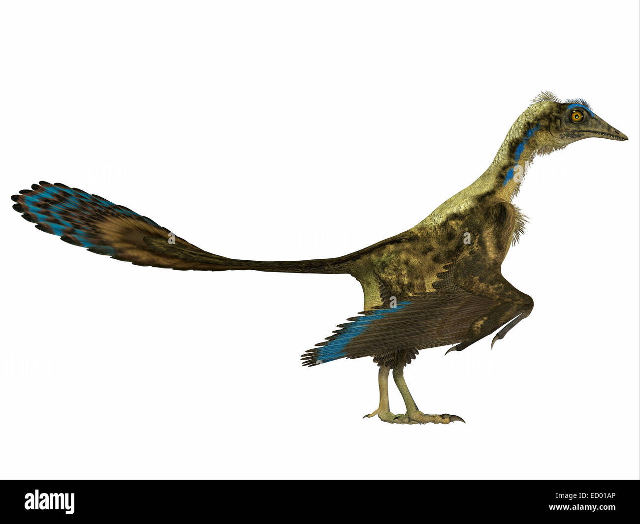 Archaeopteryx is the most primitive known bird and lived in the Jurassic Age of Germany. - Stock Image