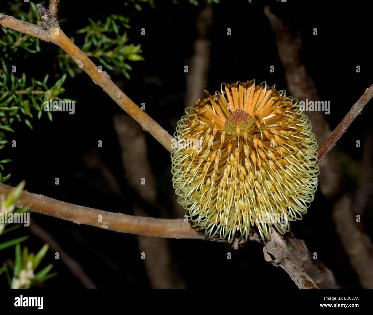 Flower of Banksia in Gibraltar Ranges National Park, NSW Australia - Stock Image
