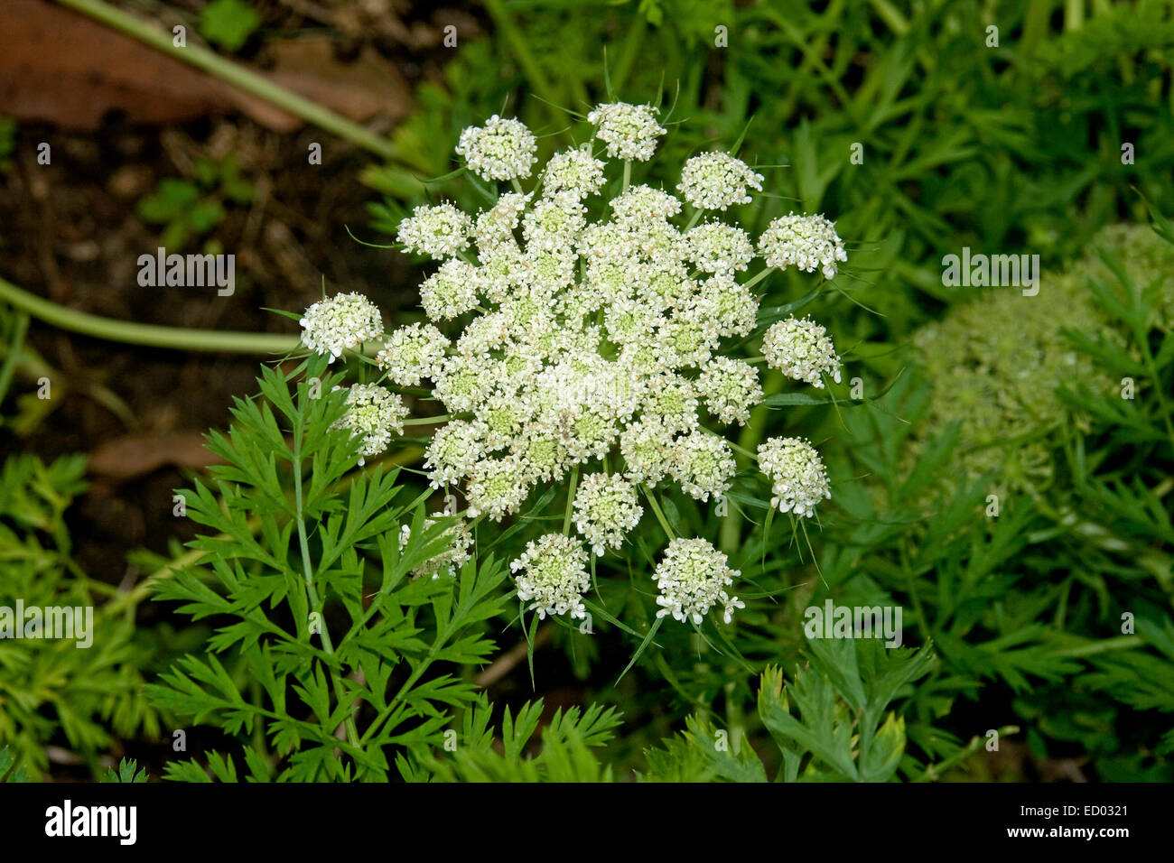 Cluster Of White Flowers And Emerald Green Leaves Of Carrot Plant