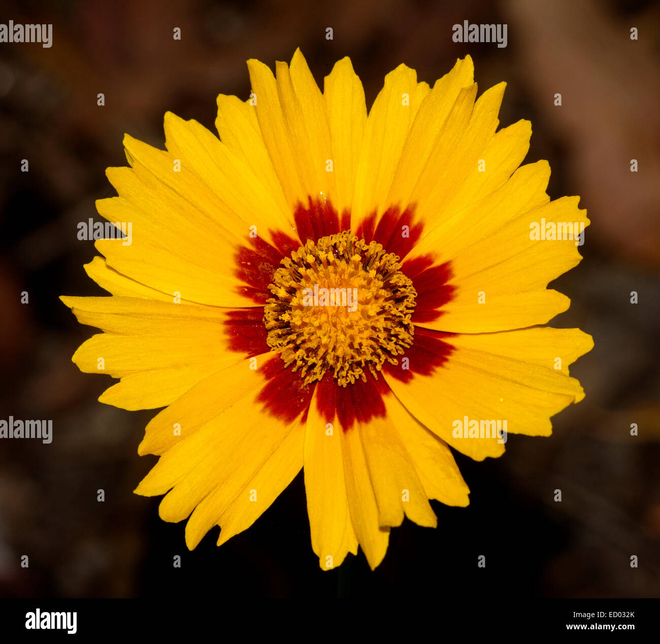 Yellow flowers with dark center stock photos yellow flowers with vivid yellow flower with inner band of deep red of coreopsis lanceolata sterntaler mightylinksfo