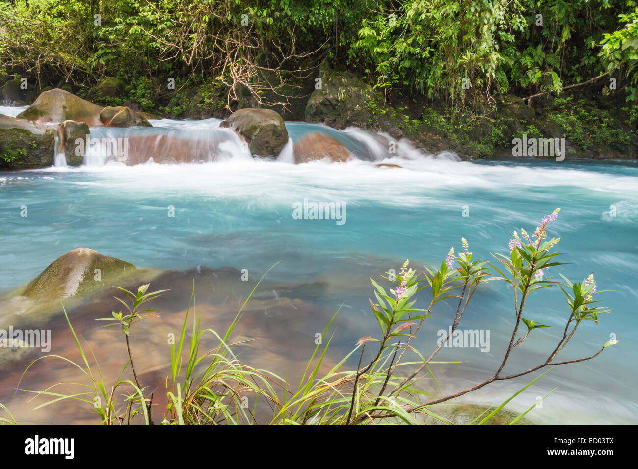 Pink flowers blooming on the banks of the cerulean blue Rio Celeste in Volcan Tenorio National Park in Costa Rica - Stock Image