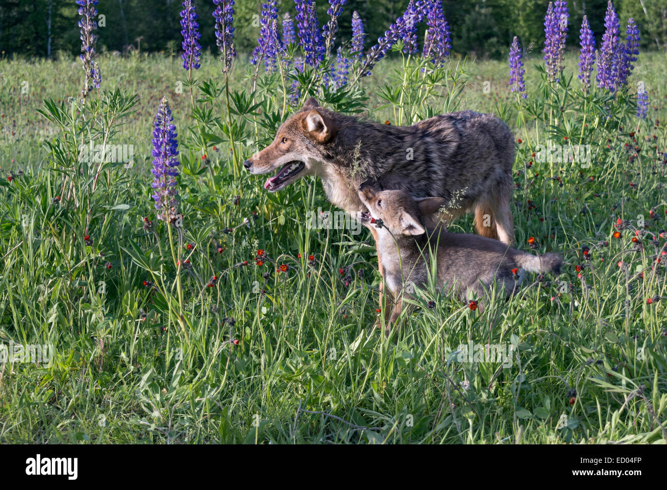 Interactions between coyote and pup, near Sandstone, Minnesota, USA - Stock Image