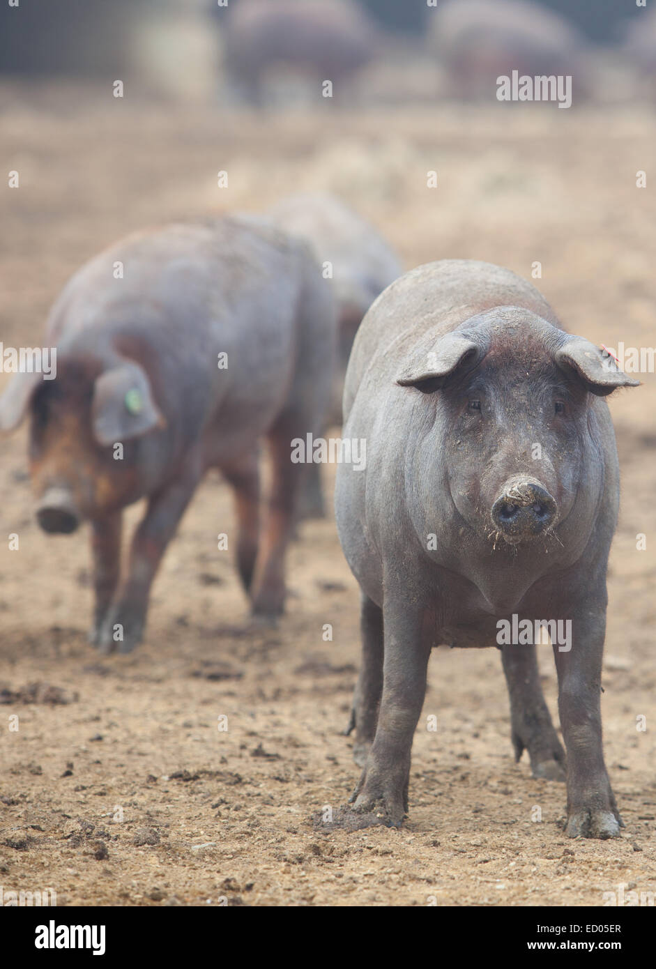Black Iberian pigs running free. Badajoz province, Extremadura, Spain - Stock Image