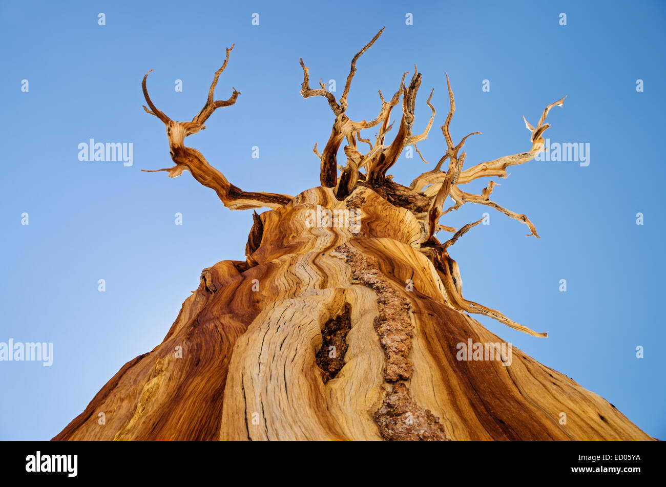 view up at a dead weathered pine tree with a few branches and blue sky background - Stock Image