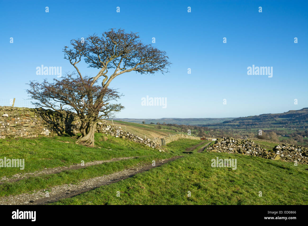 Hawthorn tree and track in Bishopdale in the Yorkshire Dales - Stock Image