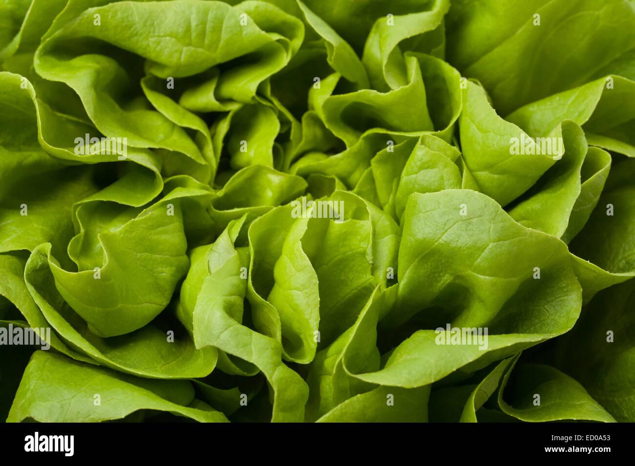 Pictire of fresh, raw, green lettuce closeup. - Stock Image