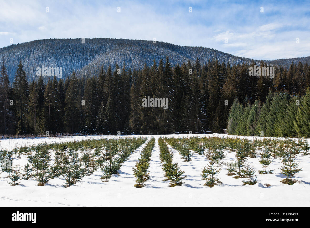 Nursery for young pine and fir trees. - Stock Image