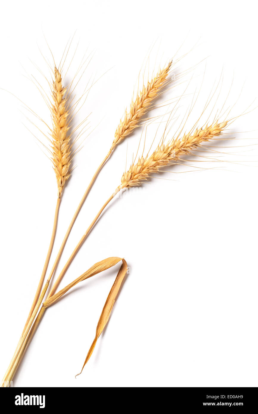 Image of stalks of wheat isolated on white background. - Stock Image