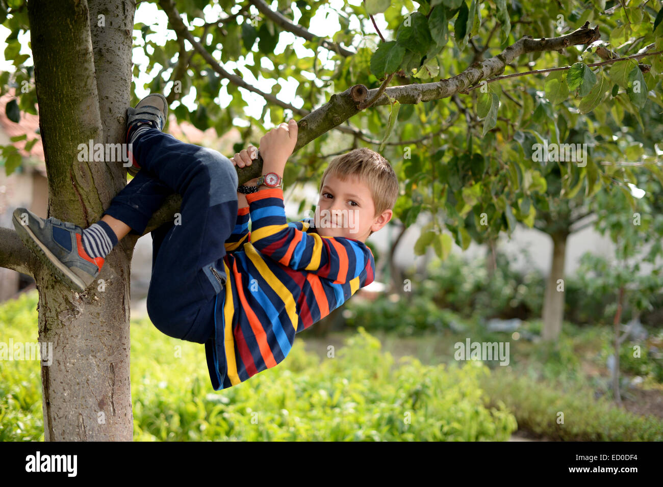 Little boy (6-7) hanging from tree - Stock Image