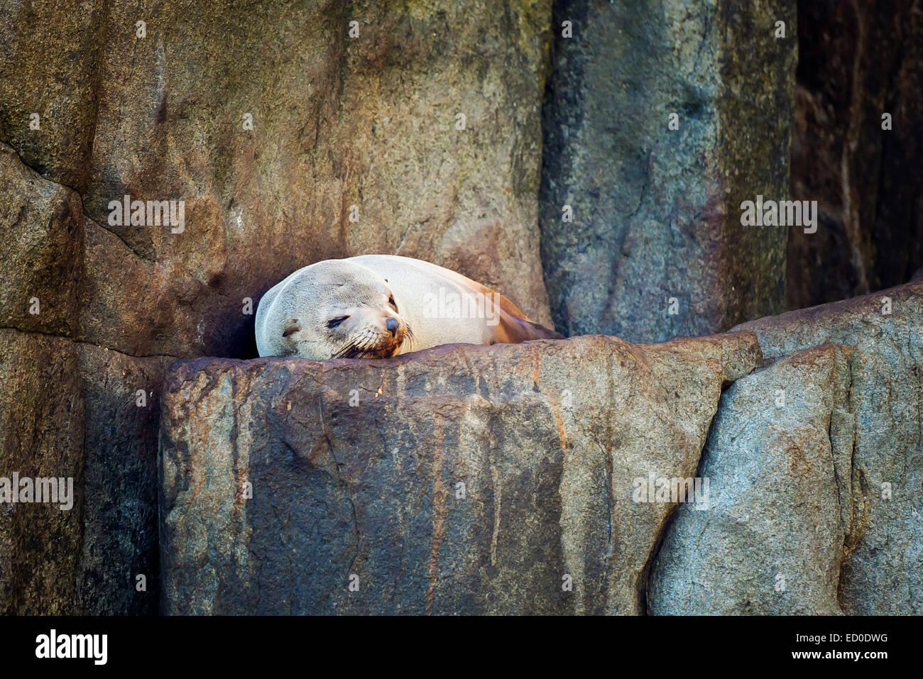 Seal sleeping on rock - Stock Image