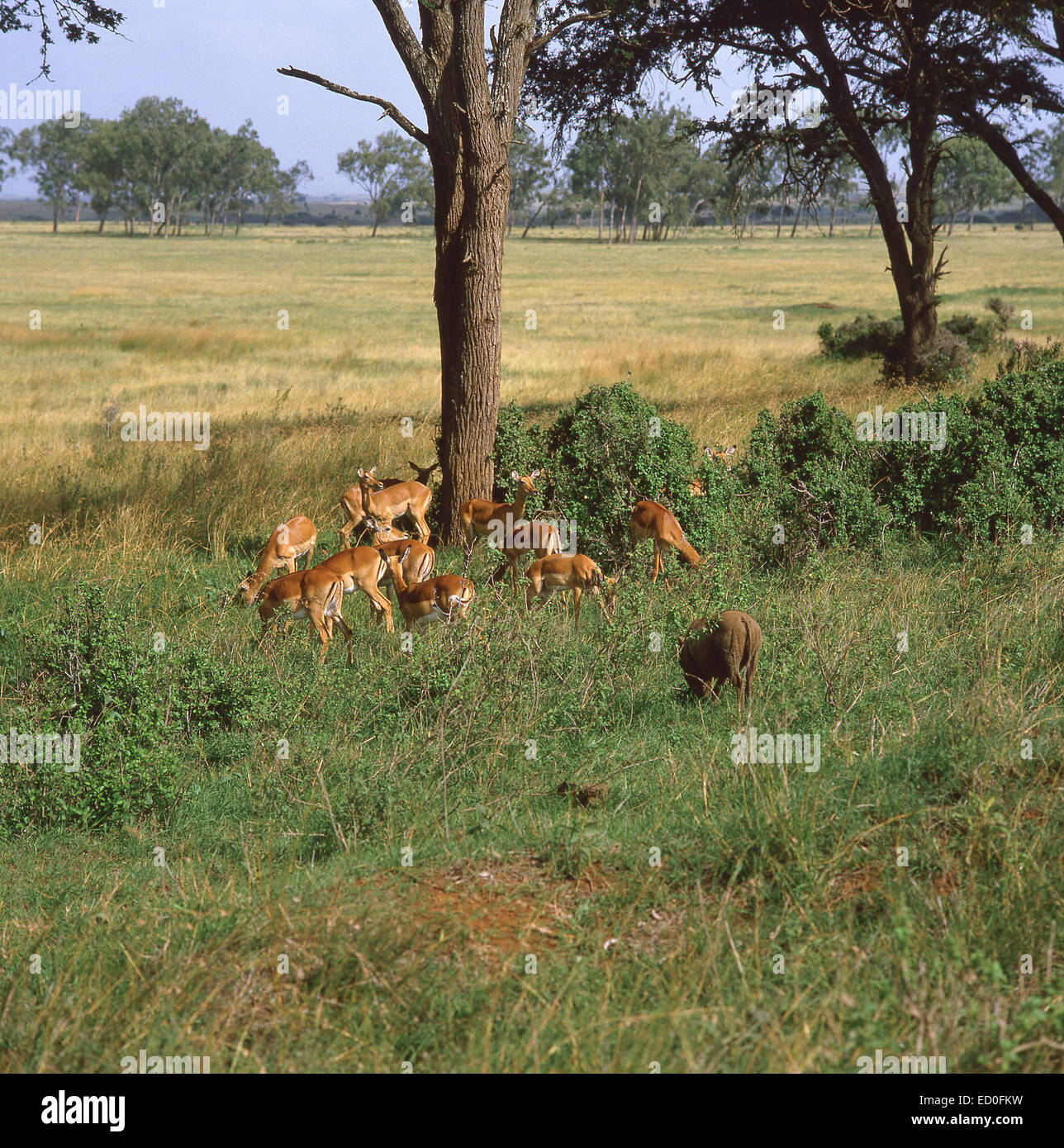 Herd of Impalas and a wild boar in bush, Amboseli National Park, Rift Valley Province, Kenya - Stock Image