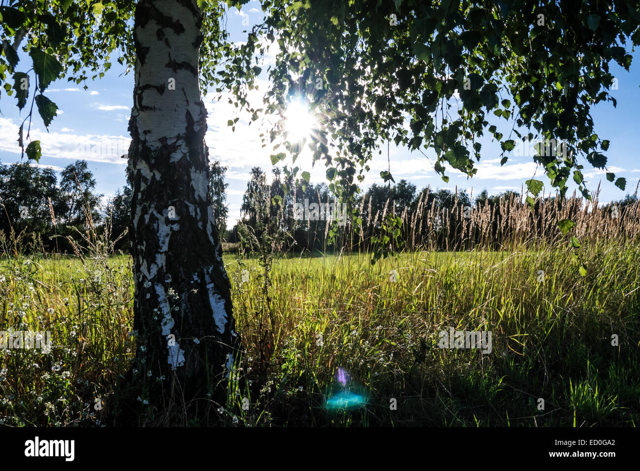 birch tree on meadow with sunlight (lensflare) in summer - Stock Image