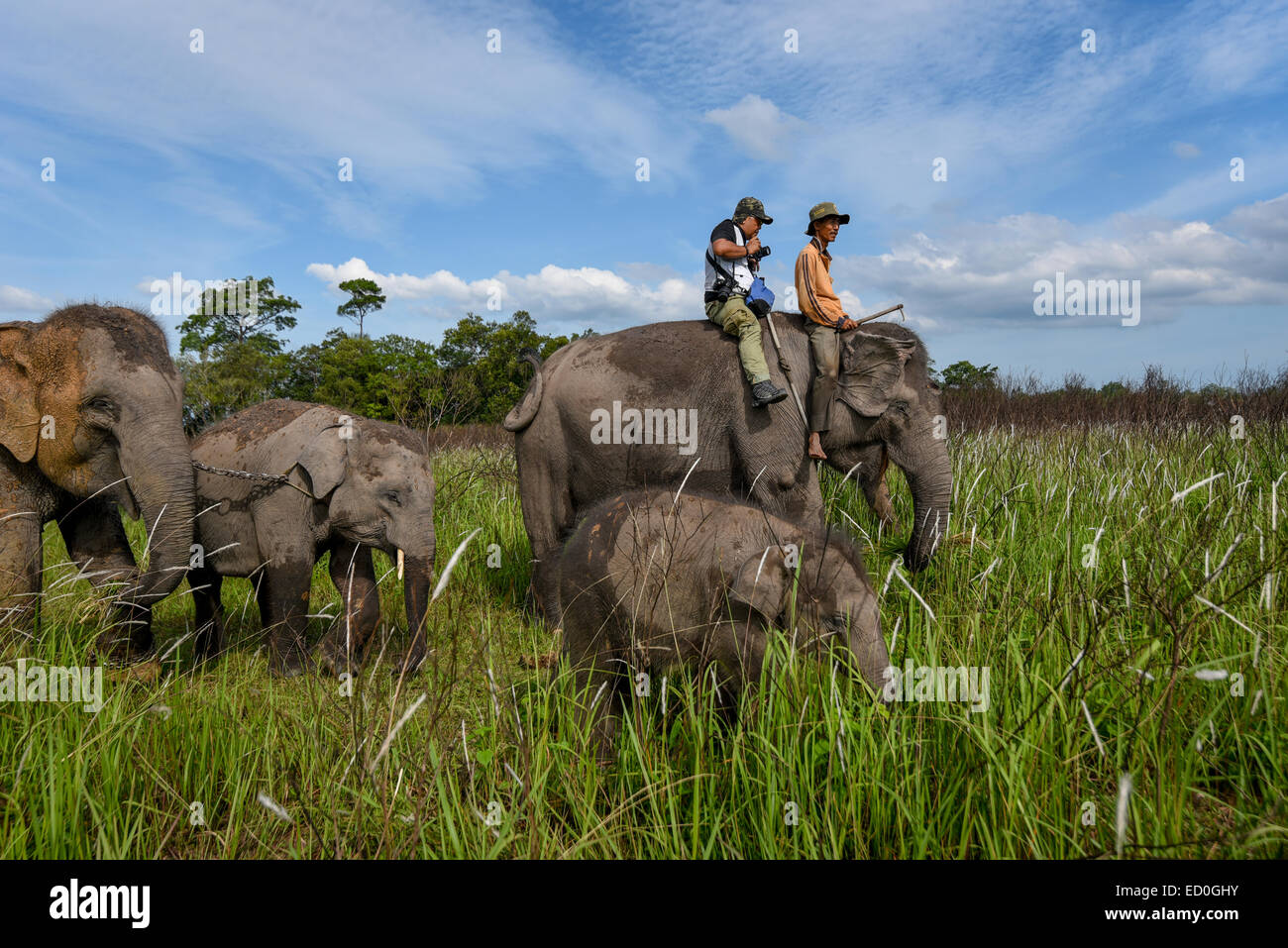An elephant keeper and a visitor ride with an elephant herd in Way Kambas National Park, Indonesia. © Reynold - Stock Image