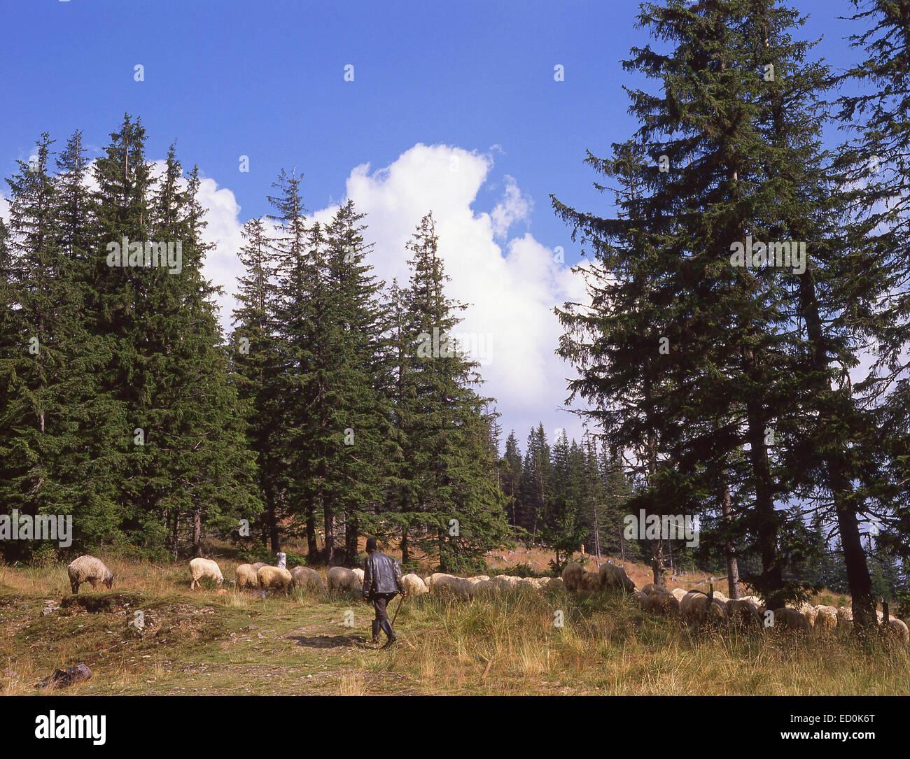 Shepherd herding sheep in field, Hargita County, Centru (Transylvania) Region, Romania - Stock Image