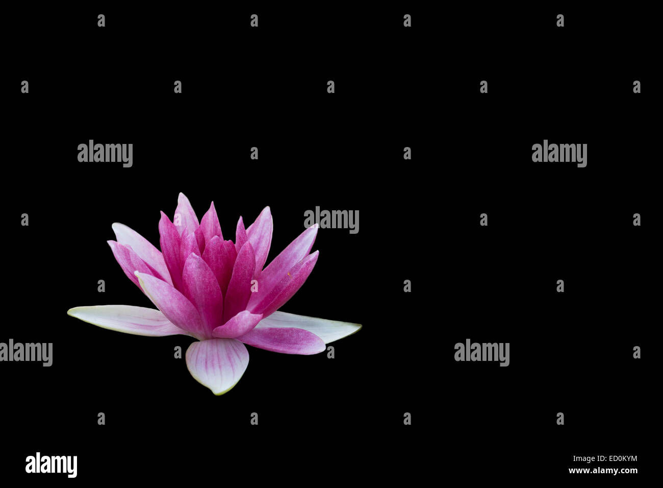 Black Pink Water Lily Lotus Flower Background Nelumbo Stock