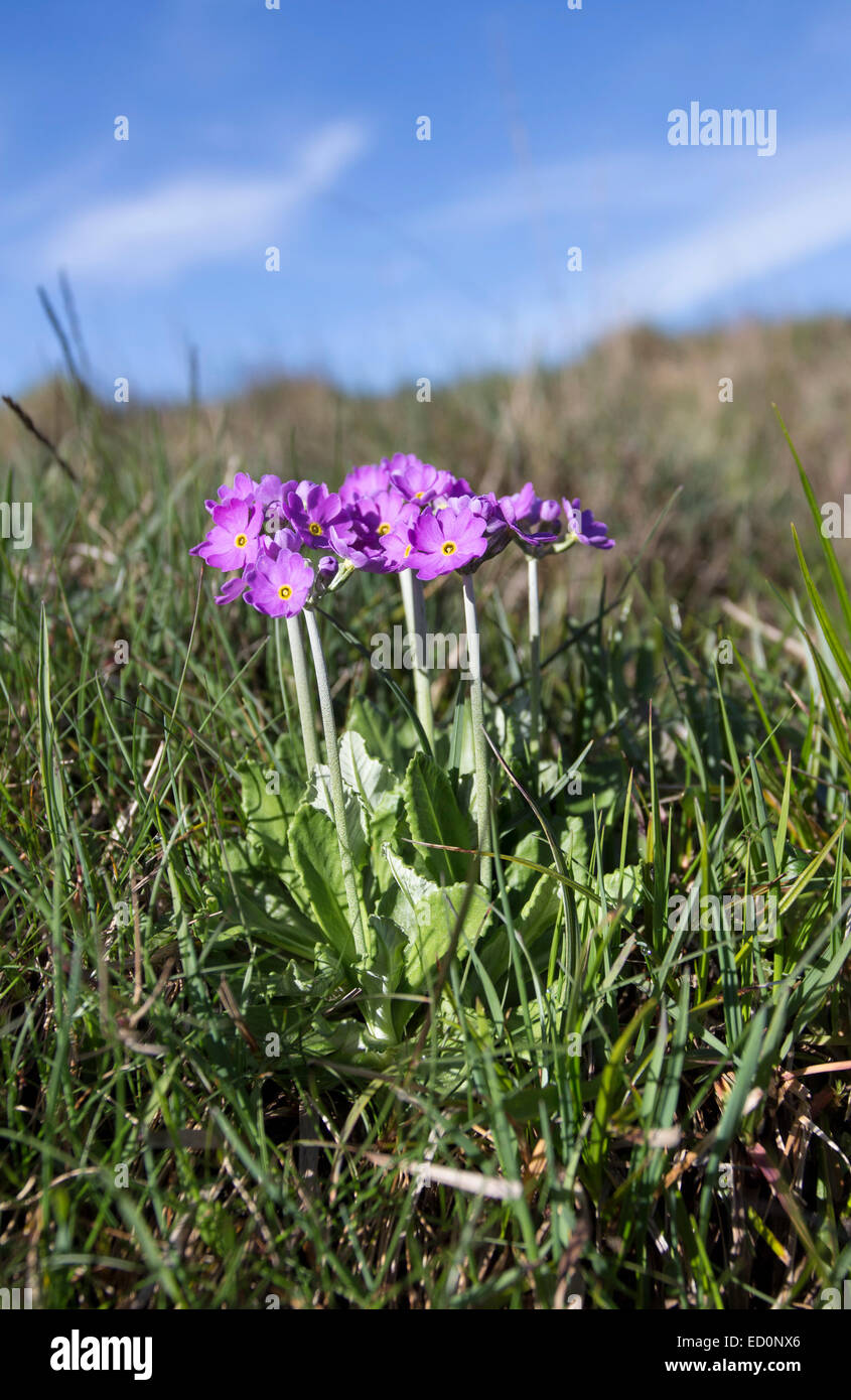Bird's-Eye Primrose Primula farinosa Widdybank Fell Moor House National Nature Reserve Teesdale County Durham UK Stock Photo