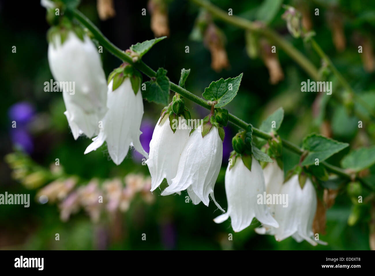 White Bellflowers Stock Photos White Bellflowers Stock Images Alamy
