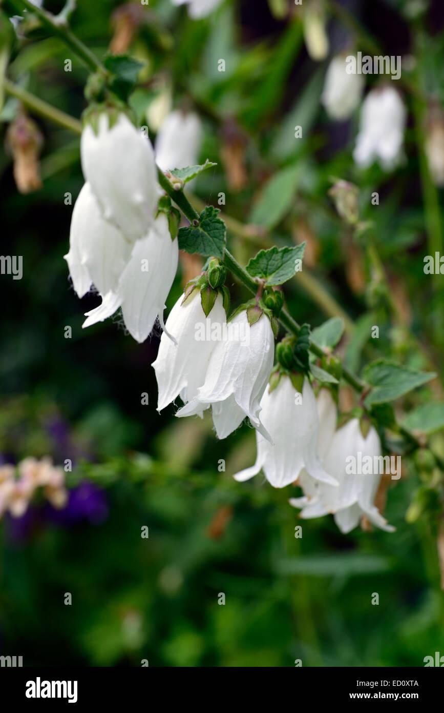 Campanula Alliariifolia Ivory Bells White Bellflowers Bells Blooms