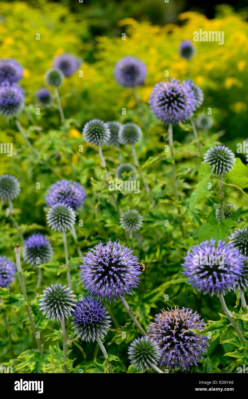 echinops ritro veitchs globe thistle flower blue yellow flowers perennial perennials mixed RM Floral - Stock Image