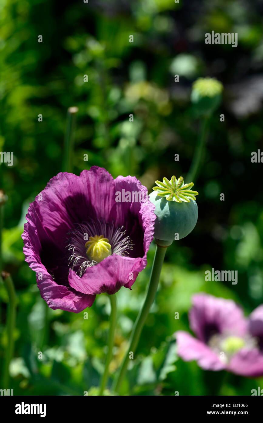 Papaver somniferum dark plum opium poppy poppies annuals flowers papaver somniferum dark plum opium poppy poppies annuals flowers flower flowering purple color colored rm floral izmirmasajfo