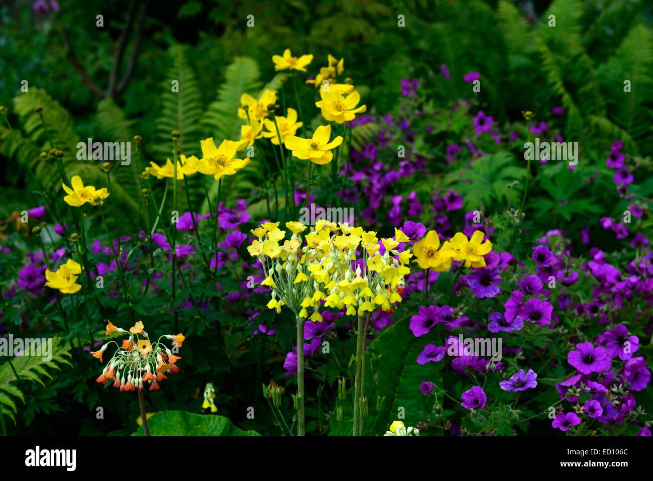 Primula Florindae Meconopsis Cambrica Geranium Psilostemon Yellow