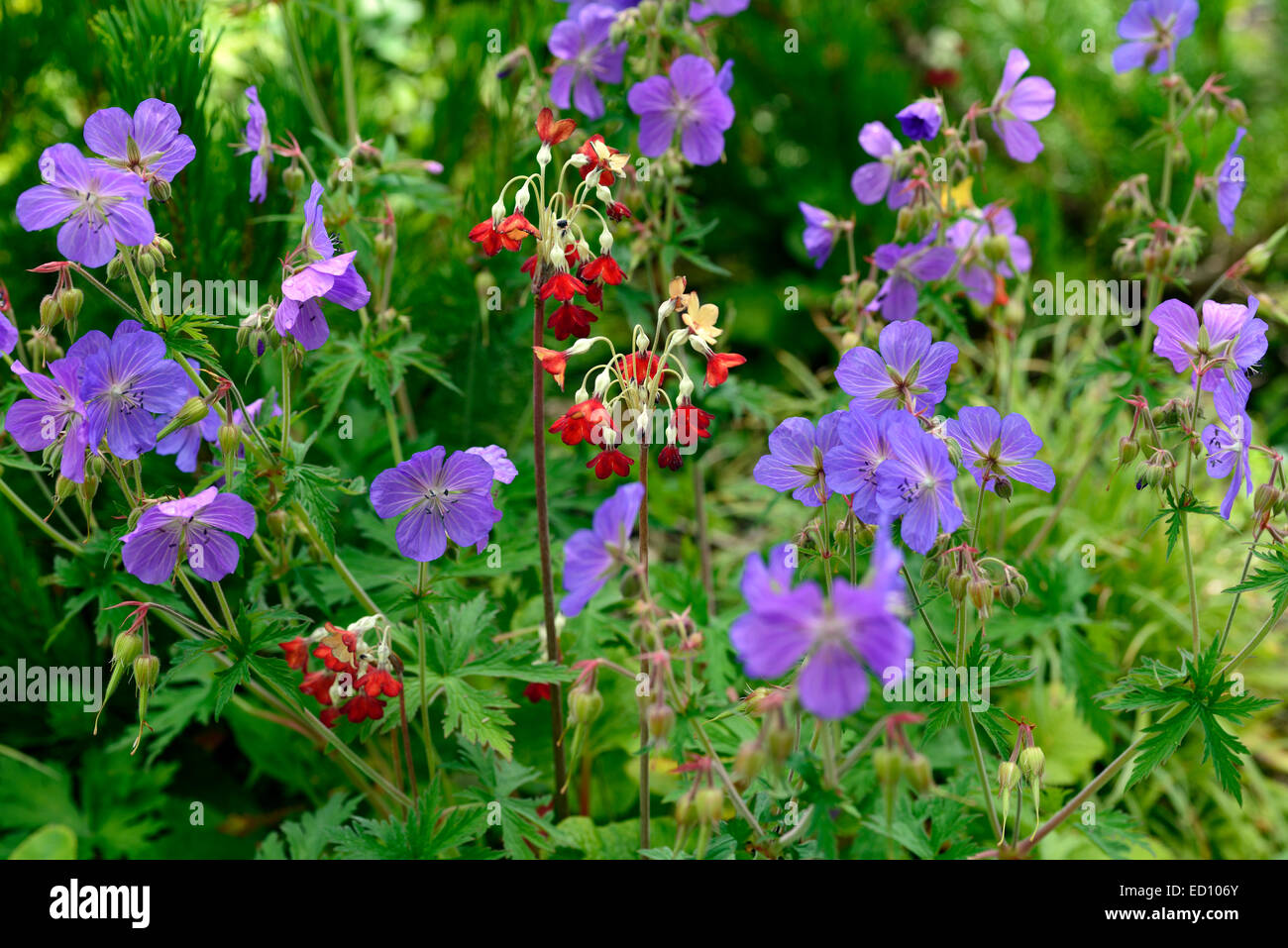 Primula florindae red geranium johnsons blue flowers flowering stock primula florindae red geranium johnsons blue flowers flowering perennial planting scheme garden perennials flower rm floral izmirmasajfo